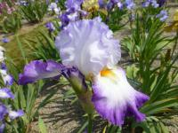 Iris barbata  'Conjuration'  Bearded Iris flowers