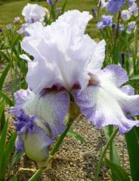 Iris barbata    'Acoma'  Bearded Iris flowers