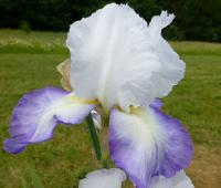 Iris barbata   'Brook Flower'  Bearded Iris flowers