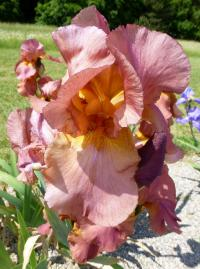 Iris barbata      'Gracie Pfost'  Bearded Iris flowers