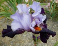 Iris barbata  'Cabaret Royale'  Bearded Iris flowers
