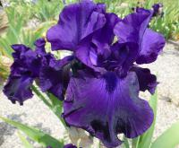 Iris barbata    'Darkside'  Bearded Iris flowers