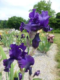 Iris barbata  'Darkside'  Bearded Iris plant