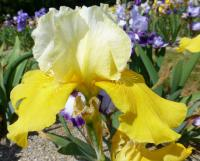 Iris barbata     'Sun Dappled'  Bearded Iris flowers