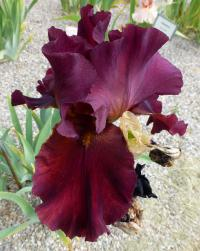 Iris barbata 'Winemaster'  Bearded Iris flowers