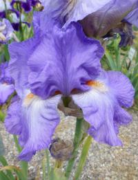 Iris barbata    'Firewater'  Bearded Iris flowers