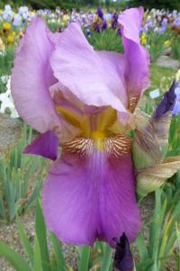 Iris barbata  'Tournament Queen'  Bearded Iris flowers