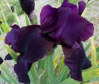 Iris barbata    'Swahili'  Bearded Iris flowers