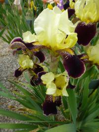 Iris barbata   'Valganza'  Bearded Iris flowers