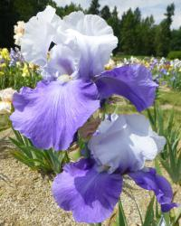 Iris barbata     'Out Yonder'  Bearded Iris flowers