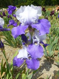 Iris barbata 'Out Yonder'  Bearded Iris plant