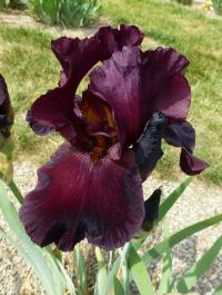Iris barbata    'Royal Trumpeter'  Bearded Iris flowers