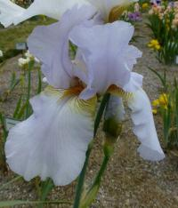 Iris barbata     'Rodnik'  Bearded Iris flowers