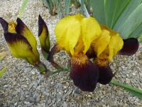 Iris barbata  'Black and Gold' - Bearded Iris