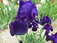 Iris barbata  'Black Taffeta' - Bearded Iris