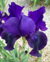 Iris barbata   'Black Taffeta'  Bearded Iris flowers