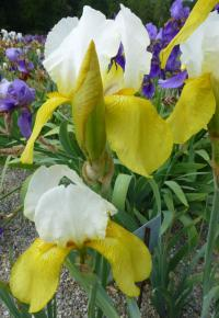 Iris barbata  'Summit'  Bearded Iris flowers