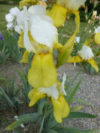 Iris barbata  'Summit' - Bearded Iris