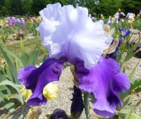 Iris barbata     'Congratulations'  Bearded Iris flowers