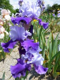 Iris barbata  'Congratulations' - Bearded Iris