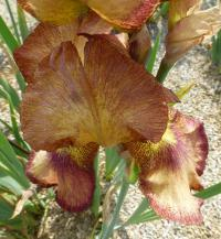Iris barbata   'Joseph's Mantle'  Bearded Iris flowers