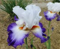 Iris barbata   'Blue Lasso'  Bearded Iris flowers