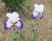 Iris barbata 'Blue Lasso'  Bearded Iris plant