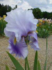 Iris barbata  'Jarní Blues' - Bearded Iris