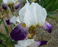 Iris barbata    'Toelleturm'  Bearded Iris flowers