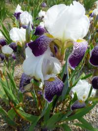 Iris barbata 'Toelleturm'  Bearded Iris plant