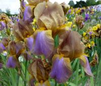 Iris barbata  'Evolution' - Bearded Iris