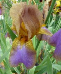 Iris barbata   'Evolution'  Bearded Iris flowers