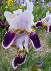 Iris barbata   'Espada'  Bearded Iris flowers