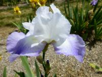 Bearded Iris Iris barbata  'Fuji's Mantle'