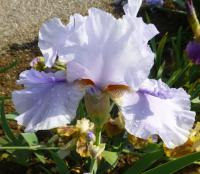 Iris barbata    'Ice for Brice'  Bearded Iris flowers