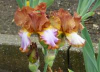 Iris barbata   'Competitive Edge'  Bearded Iris flowers