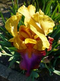 Bearded Iris Iris barbata  'Gala Madrid'