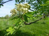 Sorbus aucuparia          'Edulis'  European mountain ash twings