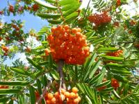 Sorbus aucuparia       'Edulis'  European mountain ash fruits