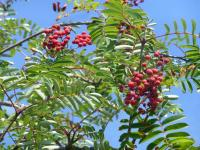 Sorbus aucuparia     'Cardinal Royal'  European mountain ash twings