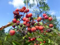 Sorbus aucuparia   'Cardinal Royal'  European mountain ash fruits