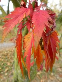 Japanese Maple Acer Palmatum Osakazuki Garden Encom
