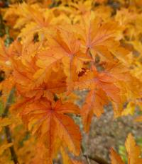 Acer palmatum        'Ribesifolium'  Japanese maple leaves