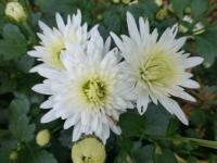 Chrysanthemum x grandiflorum   'Jolana'  Chrysanthemum flowers