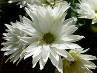 Chrysanthemum x grandiflorum    'Jana'  Chrysanthemum flowers