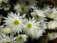 Chrysanthemum Chrysanthemum x grandiflorum  'Jana'
