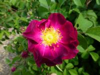 Rosa     'Violacea'  Rose flowers
