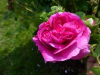Růže damascénská 'Duc de Cambridge' (Rosa x damascena)