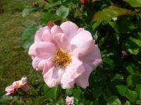 Rosa    'Clair Matin'  Rose flowers