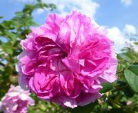 (Rosa x damascena) Růže damascénská 'Blush Damask'
